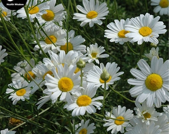 Buy Pyrethrum Flower Seeds Plant Insect Repellent Flower Pyrethrum