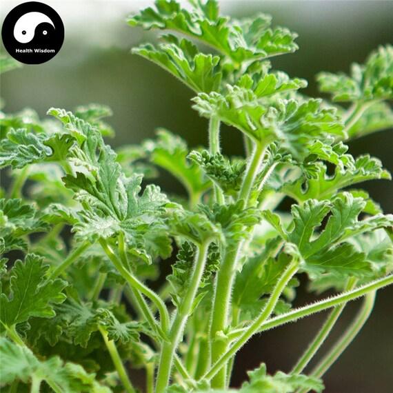Buy Pelargonium Graveolens Seeds Plant Herb Insect Repellent Etsy