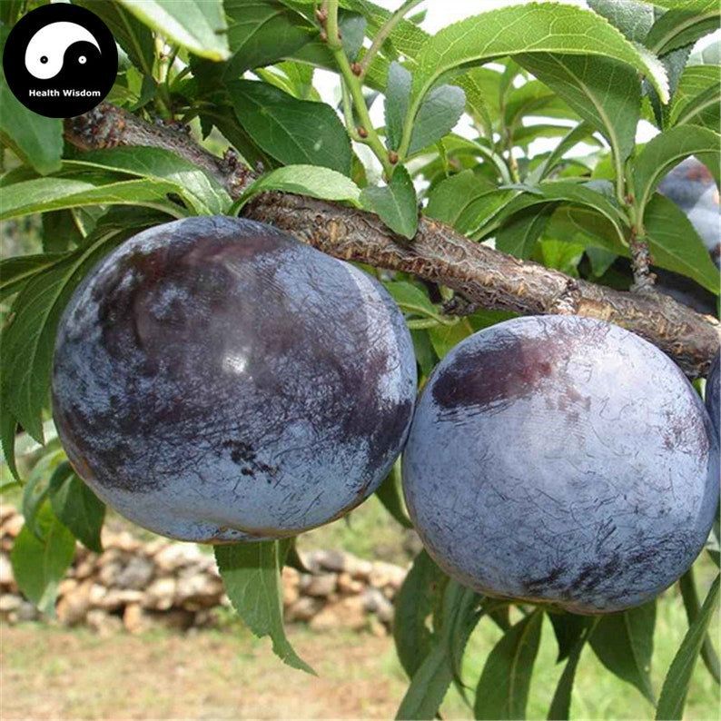 Buy Purple Plum Fruit Seeds Plant Prunus Salicina For Chinese Etsy