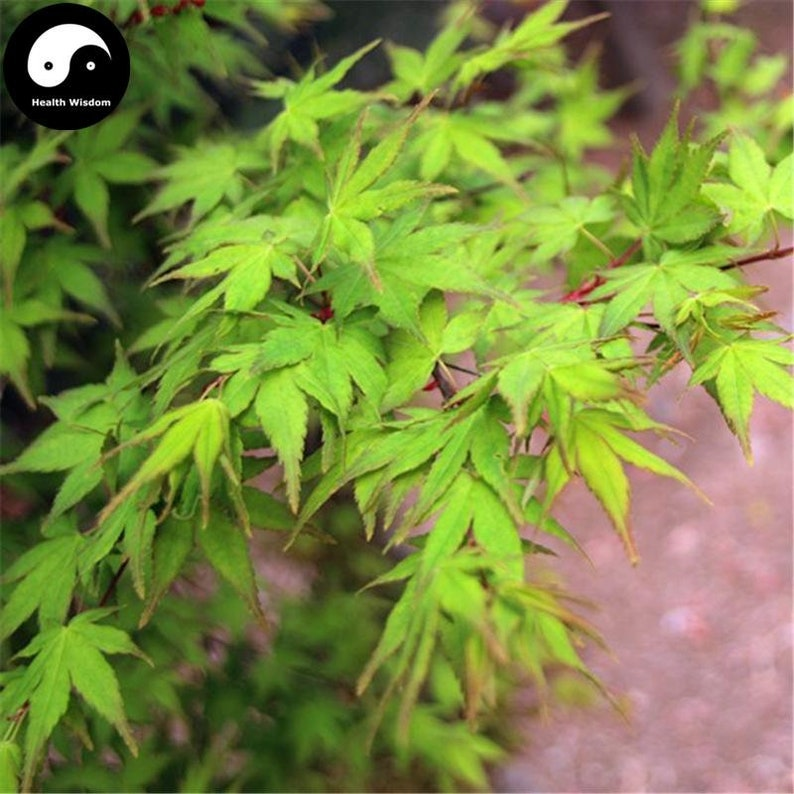 Buy Green Leaf Maple Tree Seeds Plant Acer Palmatum Tree For Etsy