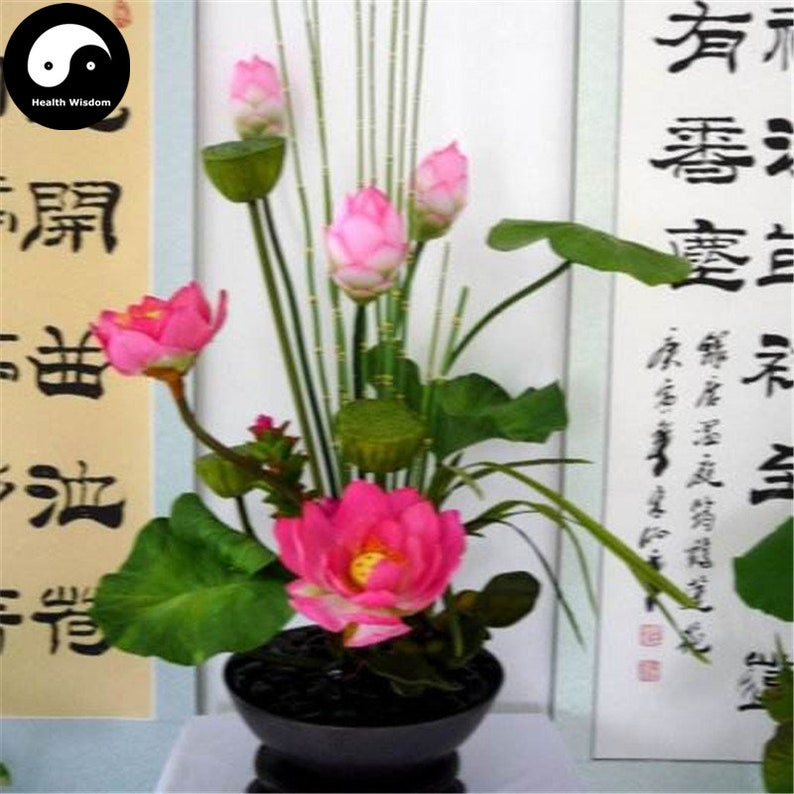 Buy Chinese Bowl Lotus Flower Seeds Water Plant Flower Lotus Etsy
