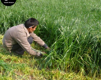 Buy Perennial Ryegrass Grass Seeds Plant Evergreen Forage Grass Ryegrass