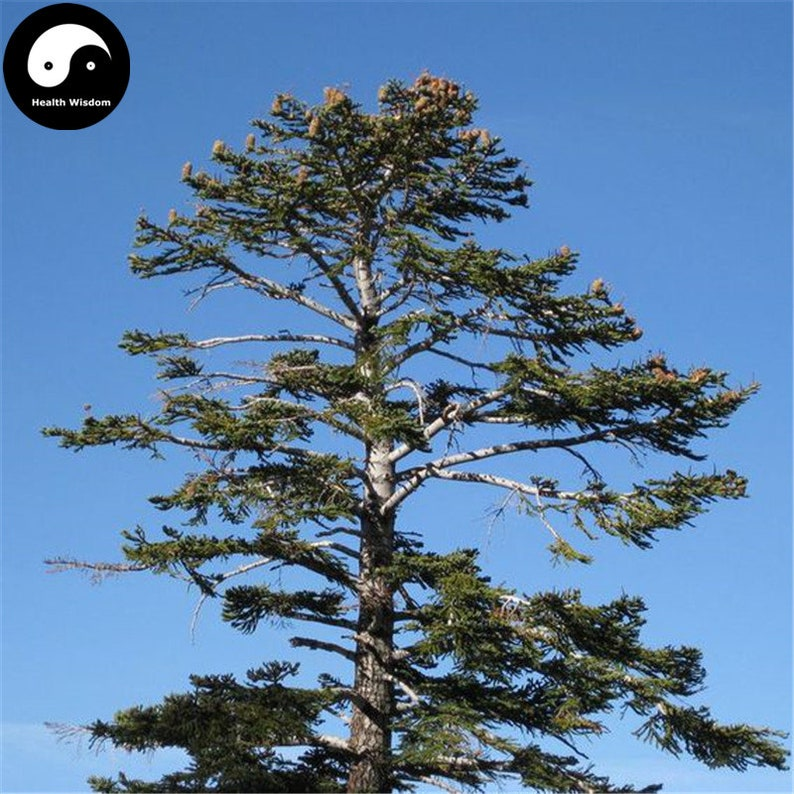 Buy Abies Delavayi Fir Tree Seeds Plant Abies Fabri Tree Leng Etsy