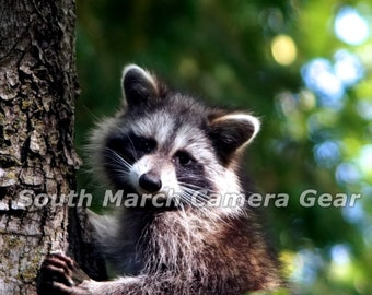 Digital photo - curious raccoon in a tree
