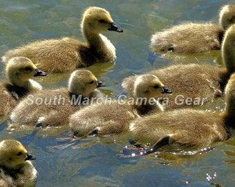 Digital photo - goslings - Canada Geese on a pond in spring