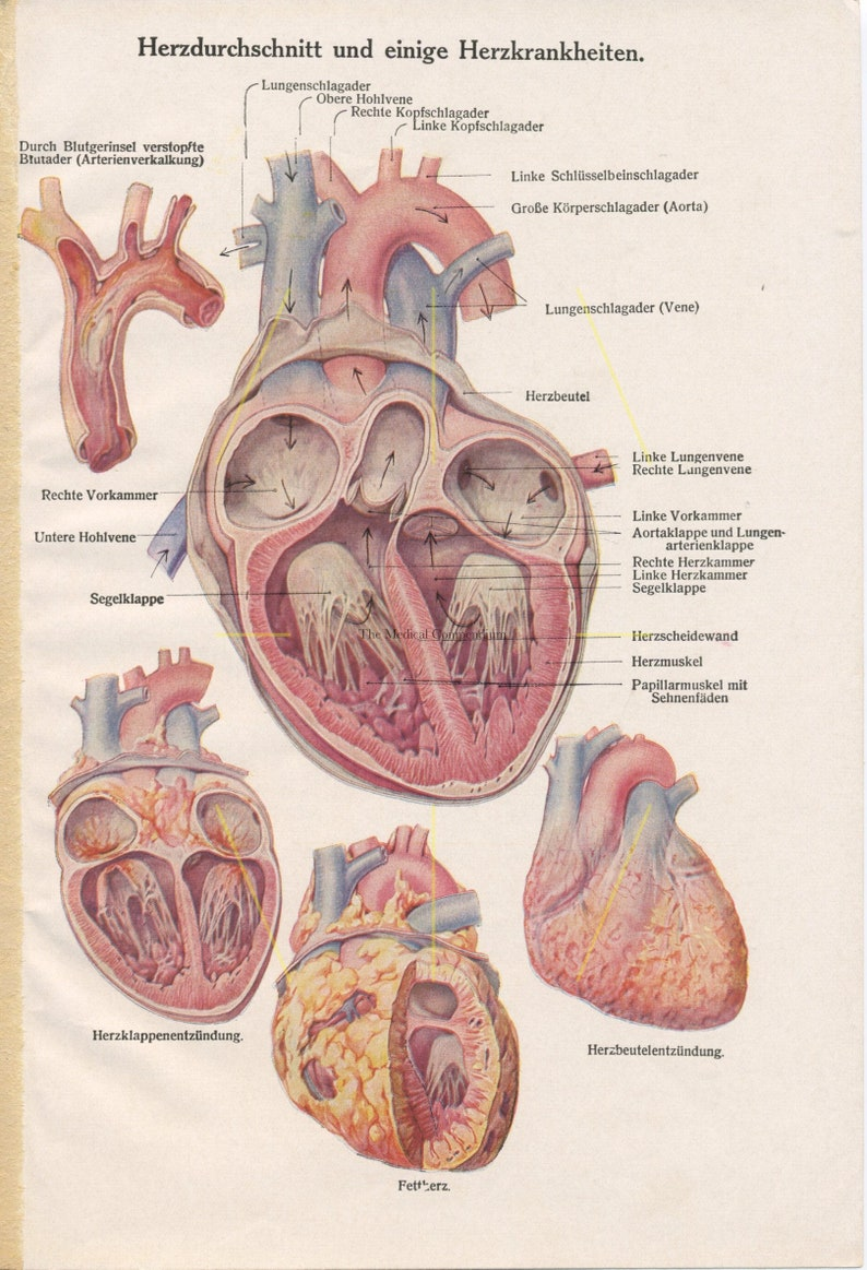 Antique Heart Print Heart Anatomy Art Human Heart Etsy