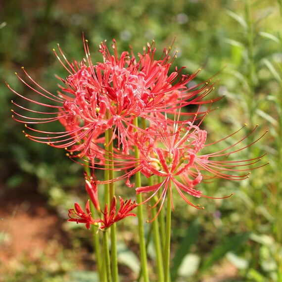 Red Lycoris Spider Lily Lycoris Radiata  5 bulbs//free shipping