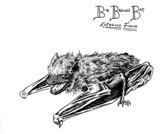 Big Brown Bat (Print)