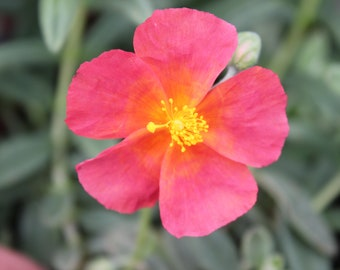 Helianthemum 9cm Fire Dragon Red Flowered Plant