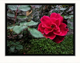 "Red Rose Print | Flower Wall Art | Red Red - 1.5"" Gallery Wrap Canvas, Open Back"