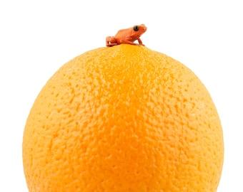 Pumilio on an orange