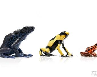 Dart frog comparisons