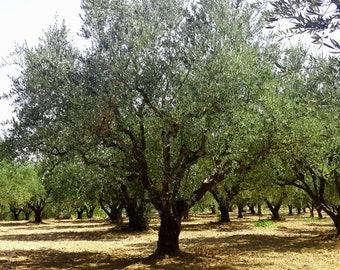 Greek Kalamata Olive Tree Annual Adoption