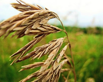 Digital Download, Wheat in Field, Wall Art