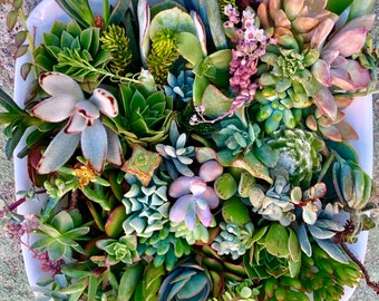 20 or 40 succulent clippings succulent cuttings