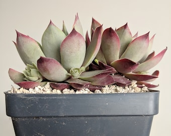 Sempervivum Lilac-Time, hen and chicks
