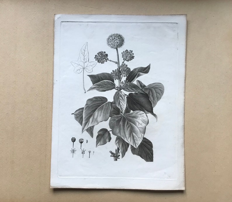 An Original 18th Century Engraving of a Sprig of Ivy in flower With details of flower and berry French 13 14  x  10 inches. By Debeuil