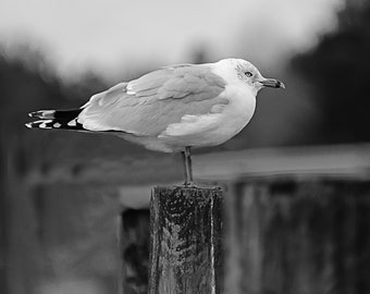 Seagull Resting on Pole