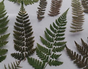 Pressed fern leaves 50/100 real pressed wild fern dried feathers fern leaf craft projects invitations greeting cards natural jewelry making
