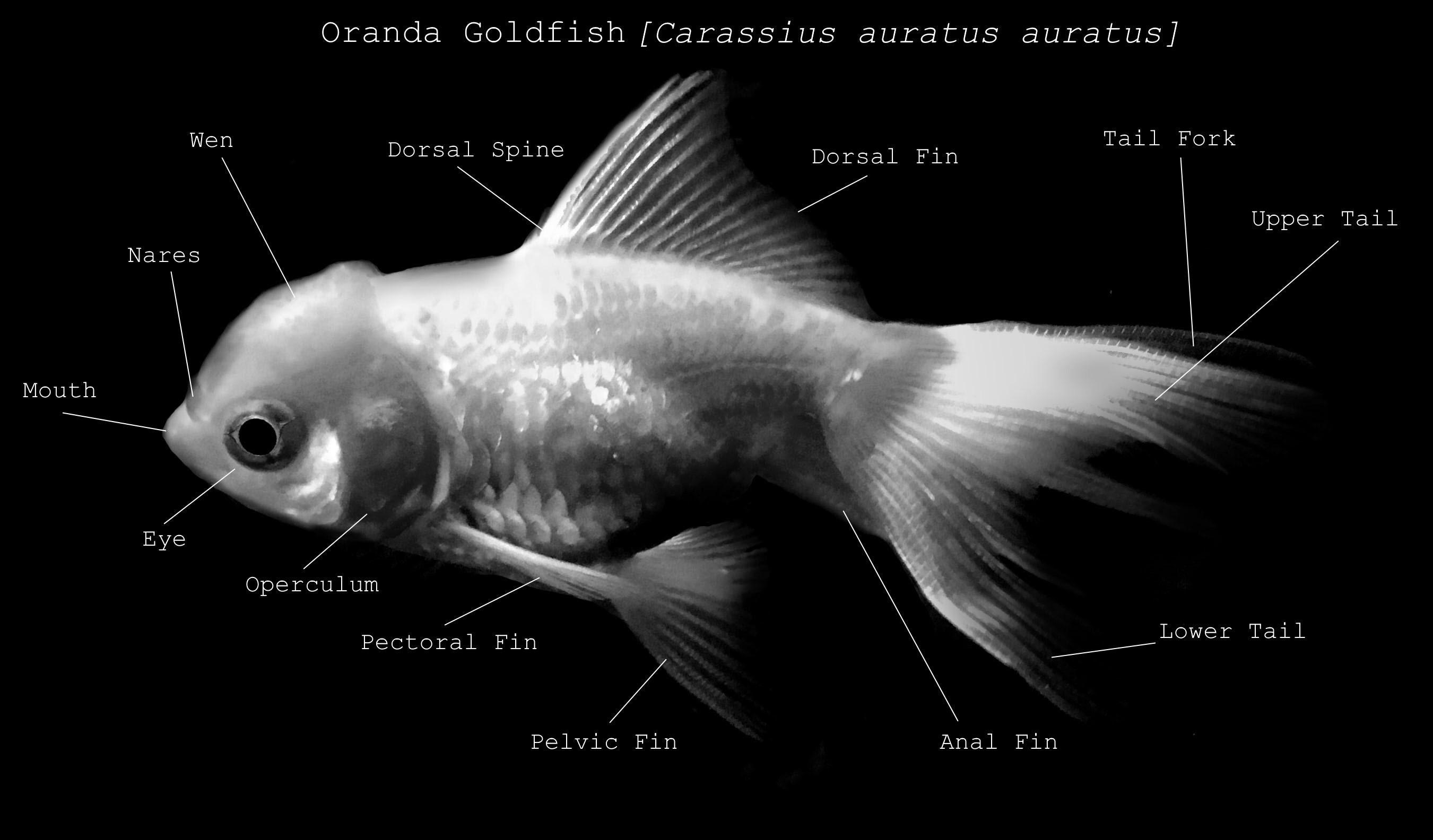 Anatomy Of A Fish Etsy