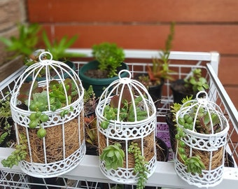 Laris Manis Succulents