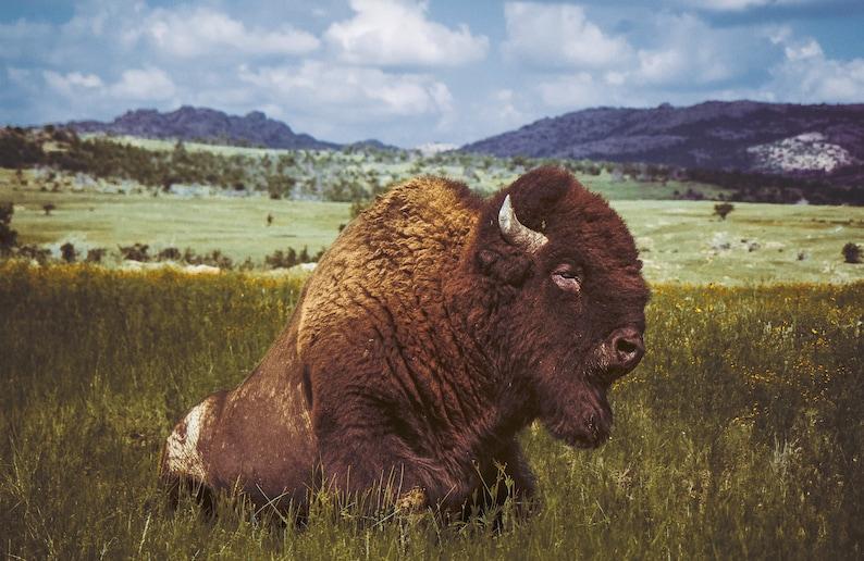 Herd of Bison Buffalo Animals Wildlife Print   POSTER