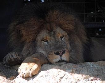 Just Lion Around, Australia, Photography Print, Fine Art, Landscape, Animal, Lion, Photography, Nature Photo, Photo Print, Canvas