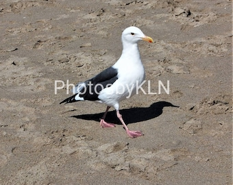 Seagull walking on the sand of Santa Monica Beach LA Photograph photo picture bird greeting card