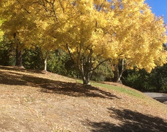 yellow autumn leaves on a hill