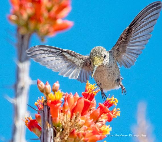 Humming Bird Coming In for Goo...
