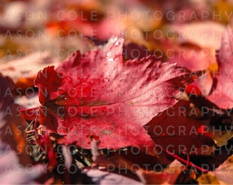 Red Leaf, Autumn/Fall Photograph
