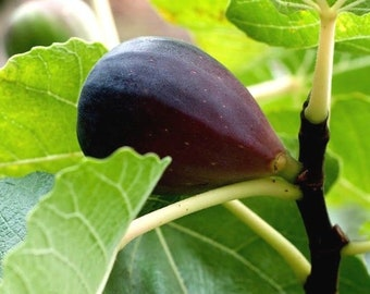 2063c6ae4aa Black Mission Fig Tree Live Plant Rooted Potted Organic Exotic Cold Hardy  Pollinated 6-10 INCHES TALL & 5-8 Months Old Starter Plant