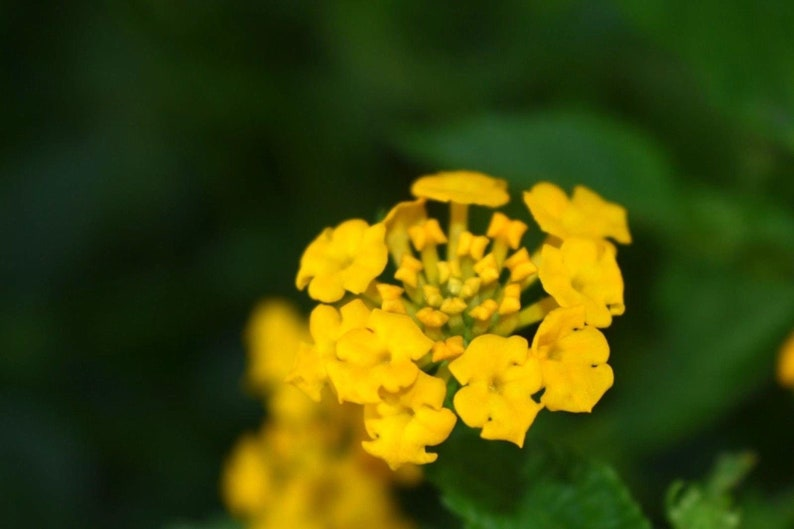 Yellow Lantana Live Plant Rooted Potted 5 10 Inches Tall 7 12 Etsy