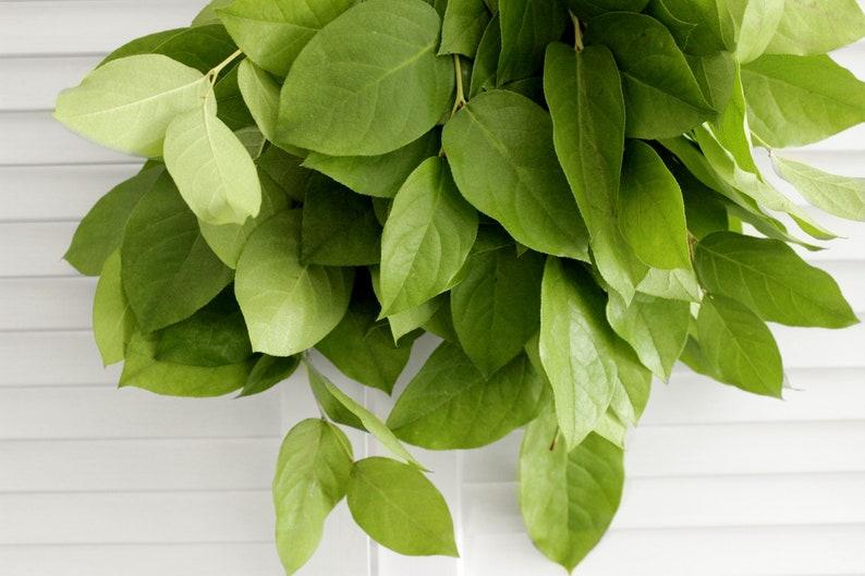 Showers Event free shipping - DIY Wedding Holidays Fresh Lemon Leaf Salal