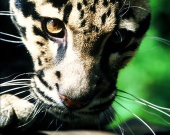 Clouded Leopard Photographic Art Print - Unframed