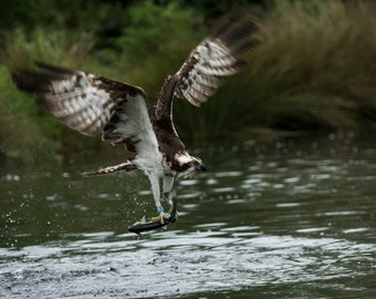 Osprey with Fish A3/A4 Photo - Mounted/Framed