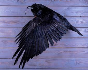 4e1b233c81b Véritable taxidermie en peluche corbeau noir oiseau de proie nouveau  trophée de chasse scientifique zoologie cadeau fourrure table stand