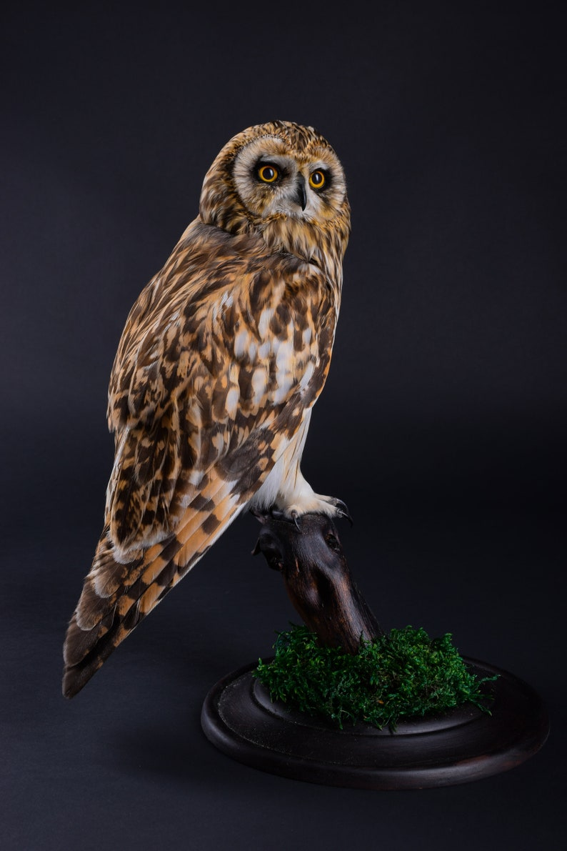 Real Taxidermy Stuffed Short-eared Owl Brown Bird of Prey New Hunting trophy Zoology Gift Fur Table Stand Mystic Home Decor Cites Skin