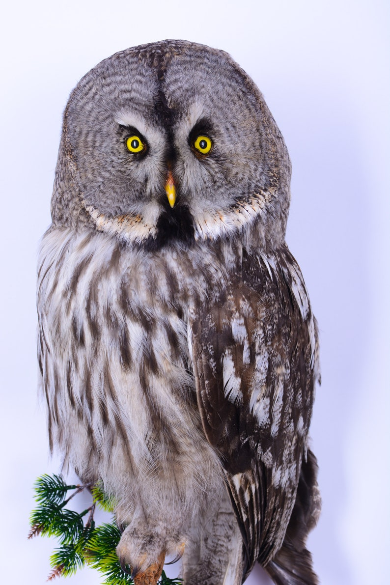 Real Taxidermy Stuffed Great grey Owl Bird of Prey Hunting trophy Scientific Zoology Gift Fur CITES