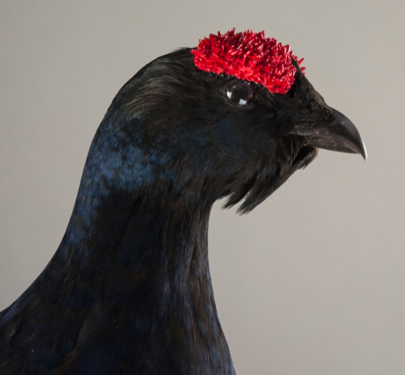 Real Taxidermy Stuffed Black grouse  Bird New Hunting trophy Scientific Zoology Gift Fur Table Stand  Home Decor Skin Gothic