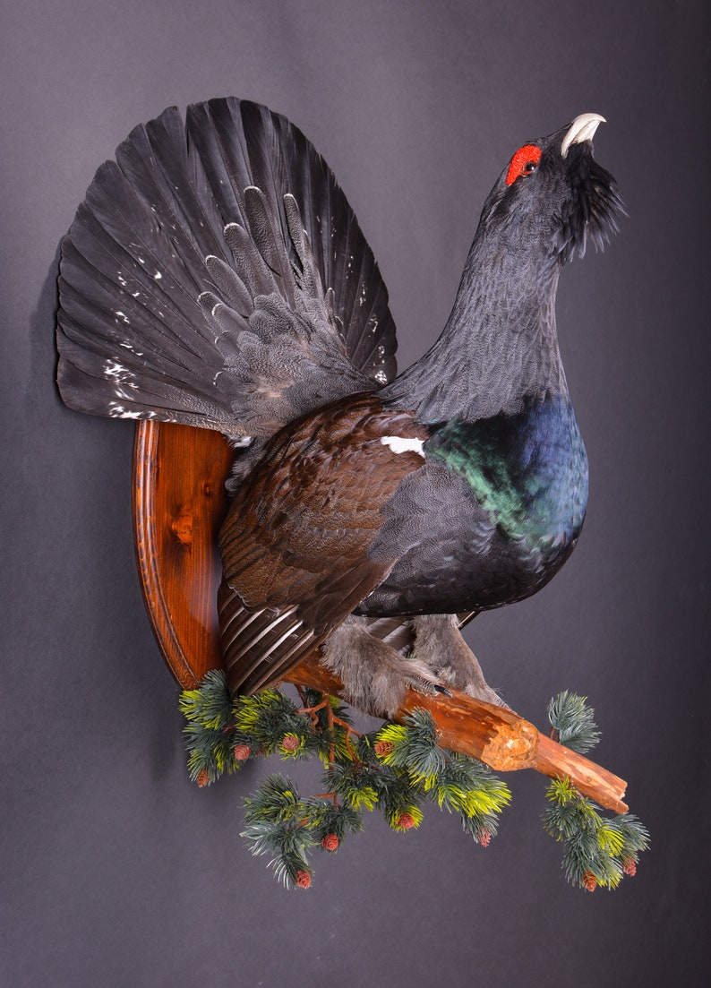 Real Taxidermy Stuffed \u0421apercaillie Grouse Bird New Hunting trophy Scientific Zoology Gift Fur Table Stand Home Decor Skin