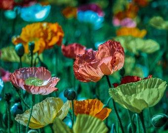 "New -- Poppy ""Alpine"" Mix SEEDS -- Salmon, Pink, Orange, Yellow, White, Red -- Wildflower or Cottage Garden FREE SHIPPING"