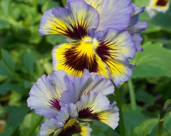 30 Ruffled Pansy Flower Seed (S)