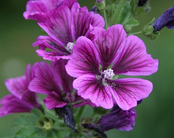 50 Hollyhock Flower Seed (S)
