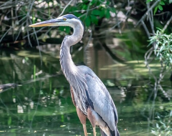 Swamp Heron, Full Color Nature/Animal, Photograph/Picture, Open Edition