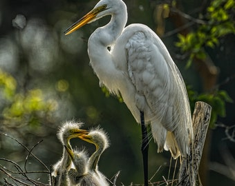 Great Egret, Egret with Babies