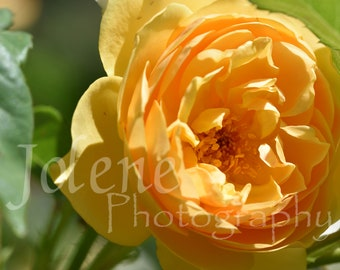 "Fine Art Digital Photography Print ""Sunny Saffron Yellow Rose"""