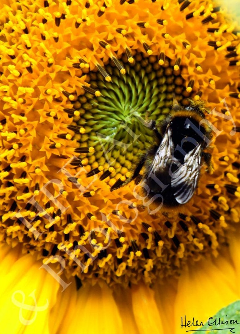Reflective wings of a Bumblebee on a Giant Sunflower. image 0