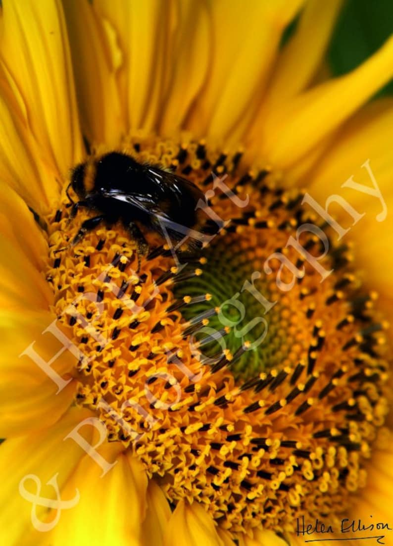 Close up of a Bumblebee feeding on a Giant Sunflower image 0