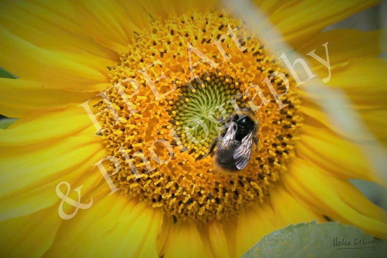 British Bumblebee on a Giant Sunflower image 0